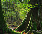 The Bialowieza World Heritage site is Europe's oldest remaining forest filled with ancient trees.