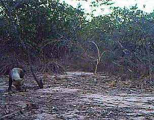 Bush dog seen in camera trap footage made ​​in the Veredas do Peruaçu State Park (MG)