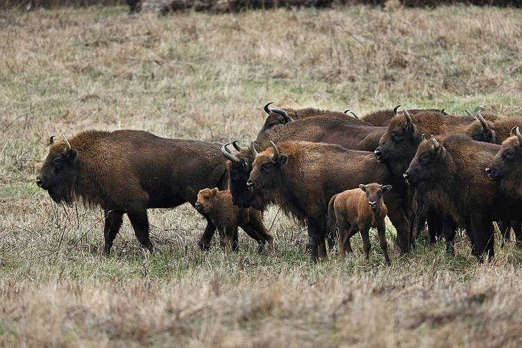 Zimbrul: A New Bison Documentary Film by award-winning French filmmaker Emmanuel Rondeau