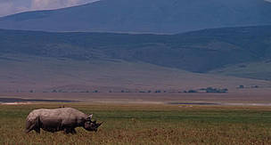Black rhino in the Ngorongoro Crater section of the Ngorongoro Conservation Area, Tanzania