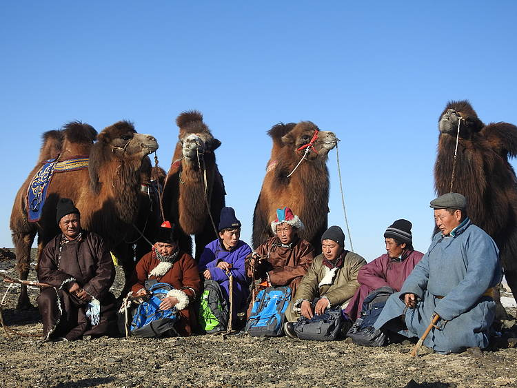 Camelmen participation in Mongolian saiga conservation
