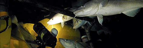 Cod species (<i>Gadus morhua</i>) near a remotely operated vehicle (ROV) at a depth of ... rel=