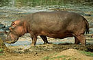 Hippopotamus amphibius