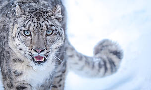 Lolly - the rescued snow leopard