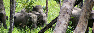 Wild Asian elephants in the dry forests of Cambodia.