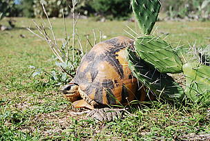 The radiated tortoise is endemic to Madagascar's spiny forest