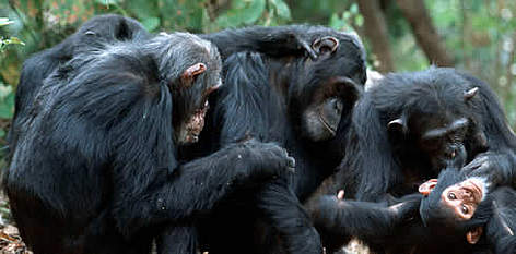 Chimpanzees | WWF