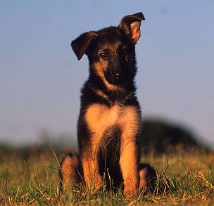 Puppies like this one will be trained to be come sniffer dogs that take on poachers!