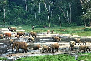 Forest elephants in Dzanga Bai in Central African Republic.