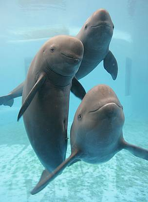 57553915daed Troubled times for endangered Yangtze finless porpoise