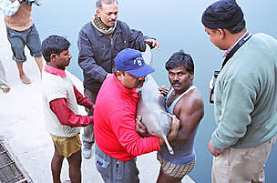 Ganges River dolphin | WWF
