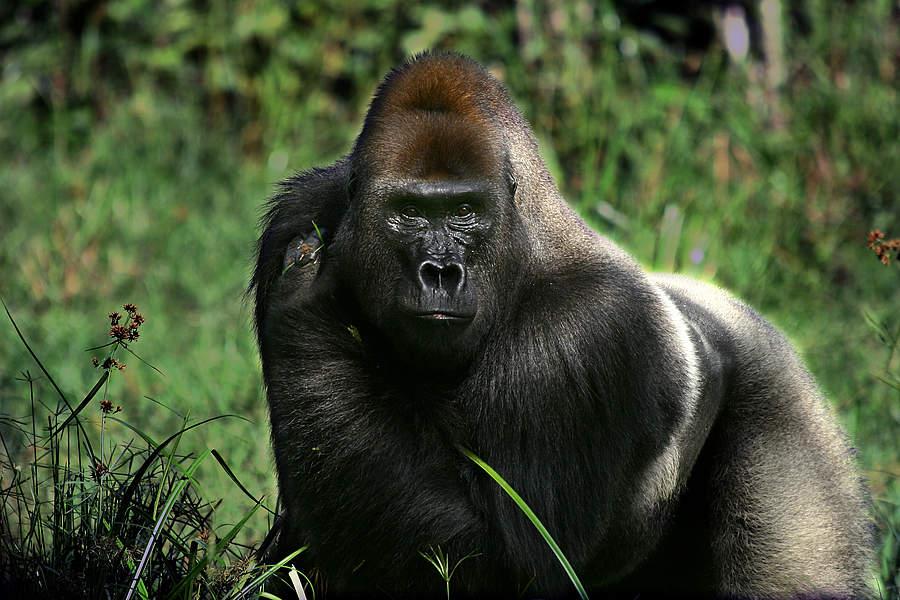 Meet The Gorillas Of Dzanga-Sangha