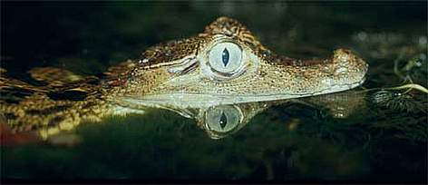 Common caiman (Caiman crocodilus), also called Narrow-snouted spectacled caiman. French Guiana. rel=