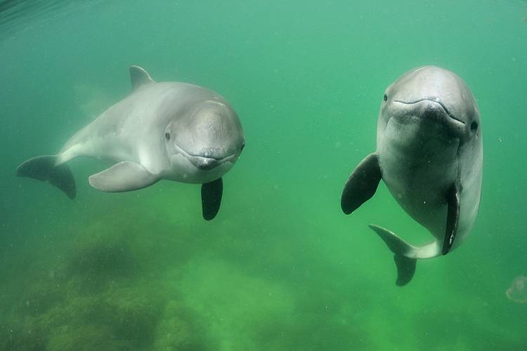NGOs call on the European Commission to take action against bycatch of the Baltic harbour porpoise