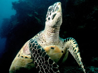Hawksbill turtle populations in the Caribbean are on the decline.