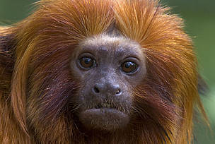 Golden lion tamarin (Leontopithecus rosalia) portrait of adult. Critically endangered; from South America.