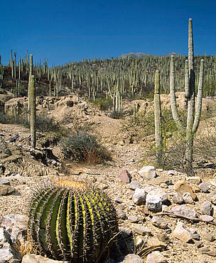 Barrel cactus near Zapotitlán Salinas,Tehuacán Valley, Puebla, Mexico.