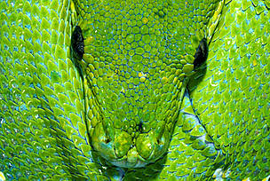 Green tree python Arboreal rainforest species Australia