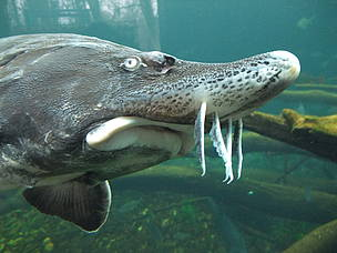 The Beluga Sturgeon (Huso huso) is the biggest freshwater fish in the world.