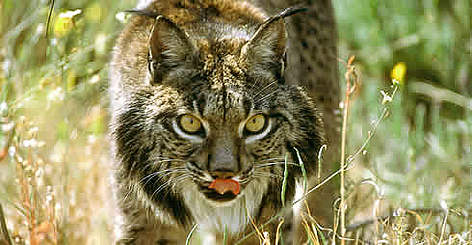 Iberian lynx | WWF
