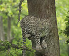 Leopard in the wild