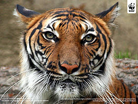Indochinese tiger (Panthera tigris corbetti) is only found in the Greater Mekong region of ...  	© Connie  Lemperle / WWF Greater Mekong
