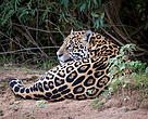 Jaguar - conservation pulse