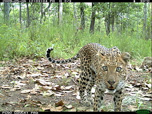 Camera trap image of common leopard from Ayubia National Park