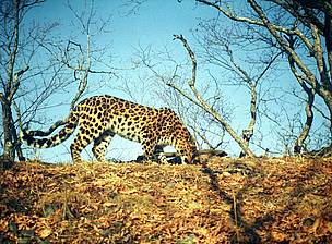 Eight Fare Eastern Leopards were photographed in Kedrovaya Pad reserve in east Siberia.