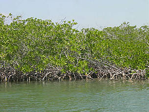 Mangrove forests act as a natural barrier against such natural disasters as hurricanes and tsunamis.