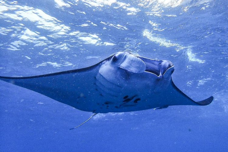 New protection for threatened manta and mobula rays in Pacific waters