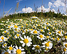 Meadow with flowering corn camomile (Anthemis arvensis) East Slovakia, Europe.