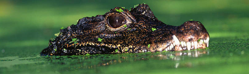 Dwarf Crocodile   	© Martin Harvey / WWF