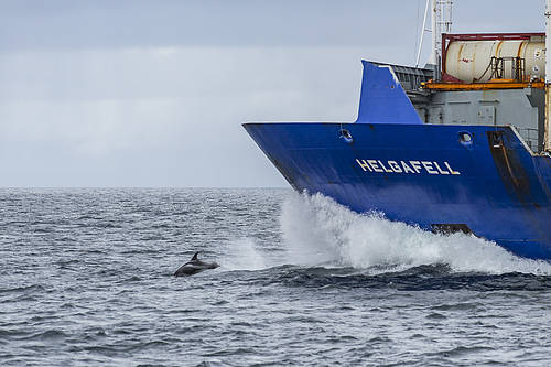 White-beaked dolphin (Lagenorhynchus albirostris), jumping in front of a freighter ship.  	© Ola Jennersten / WWF-Sweden