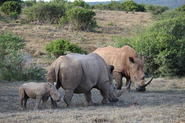 Threats to rhinos remain despite drop in South Africa's 2018 poaching numbers