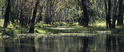 Flooded forest along Murray River near Tocumwal, New South Wales, Australia. rel=