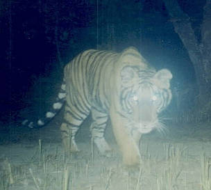 Tiger caught on camera      © WWF Nepal