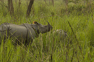 Greater one-horned rhino in Nepal during the 2015 census