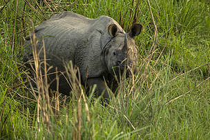 Greater one-horned rhino in Nepal during 2015 census