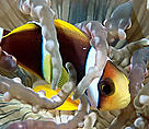 Orangefin anemonefish (Amphiprion chrysopterus). Juvenile anemonefish often dive deep into the mouth of their host aurora anemone when threatened.