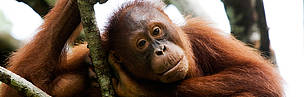 Orang-utan (Pongo pygmaeus) sitting in tree in a rehabilitation centre in Malaysia.