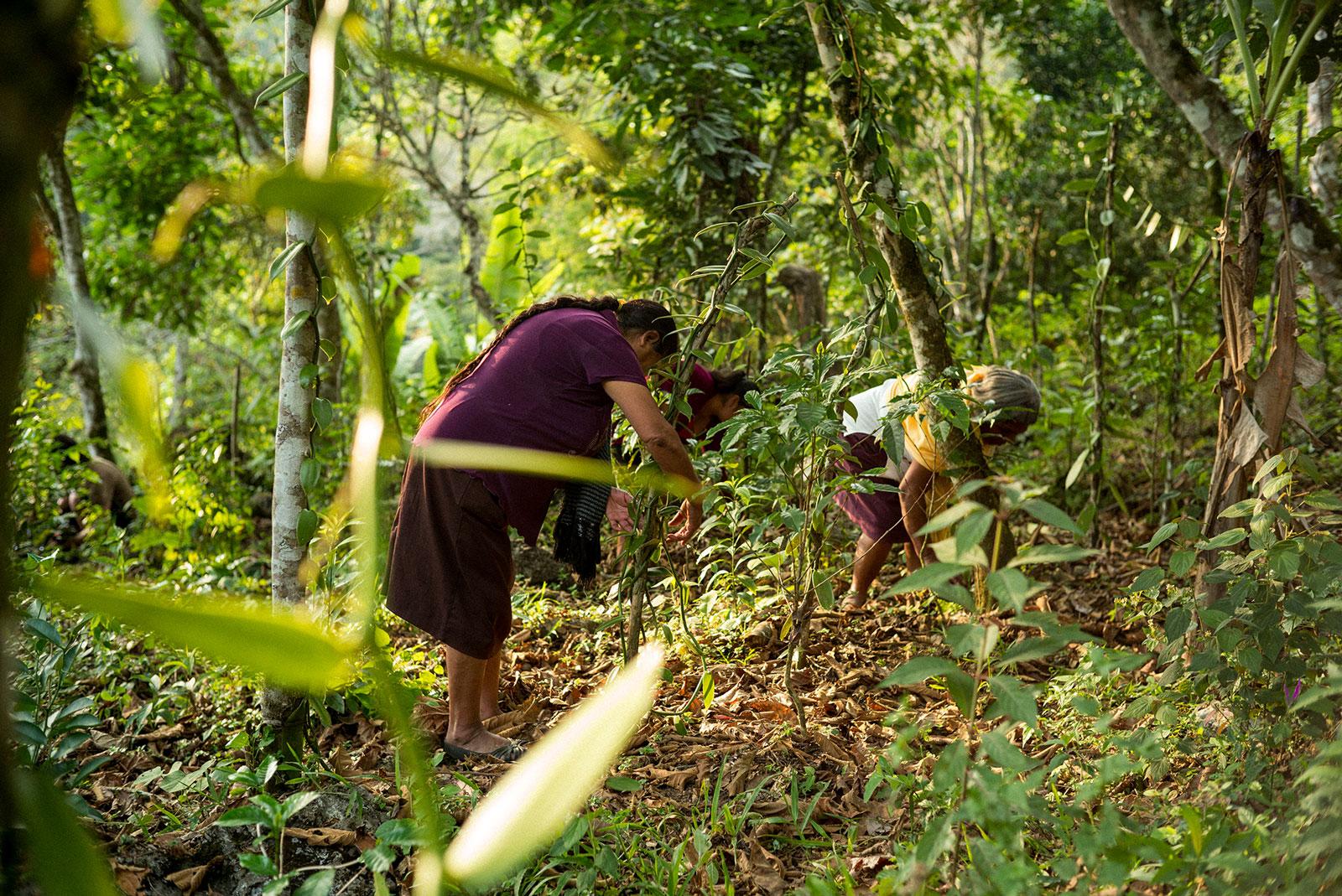 Imagen: Limpieza de campos de vainilla.