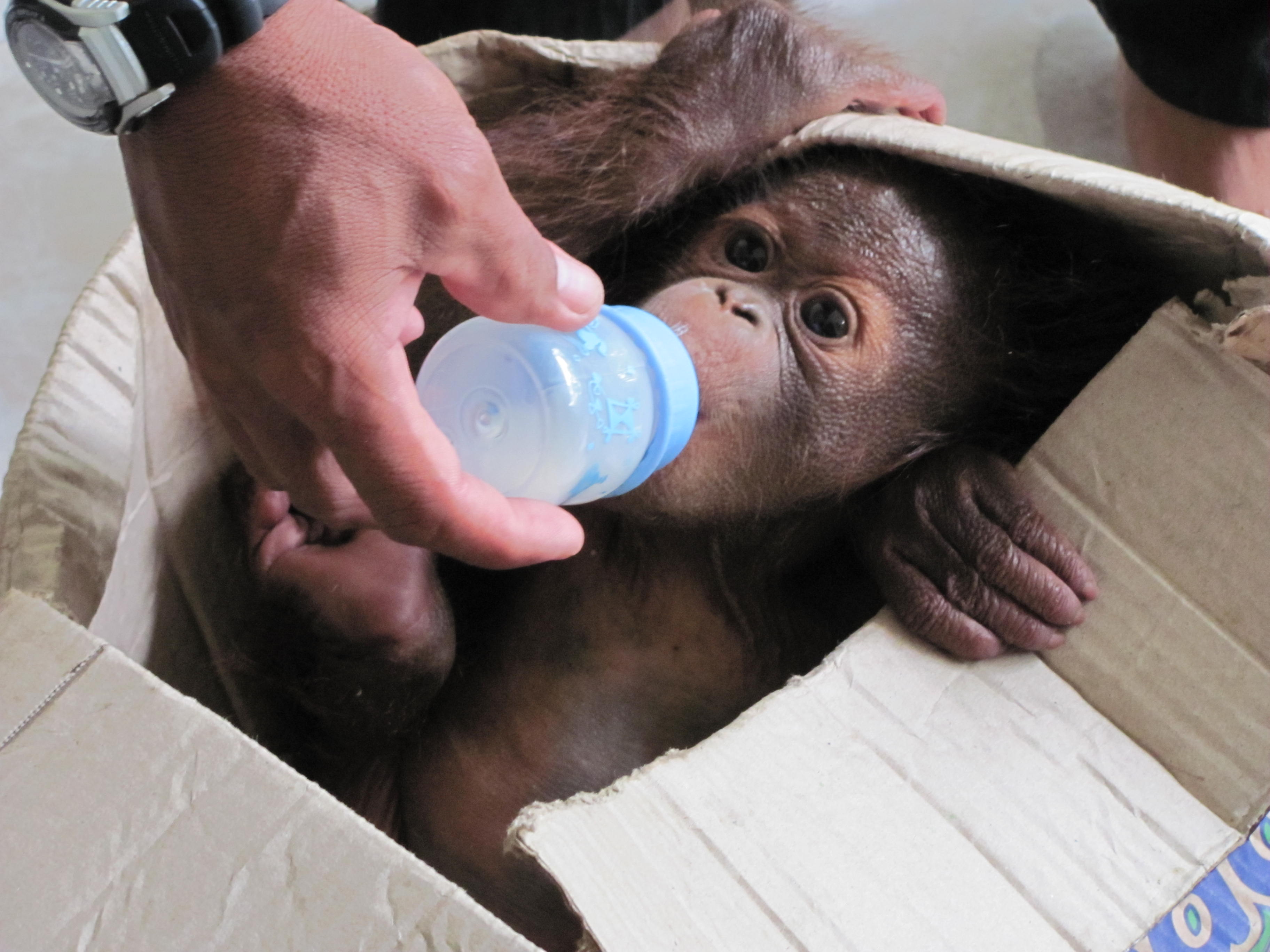 Baim The Story Of A Rescued Baby Orangutan In The Heart