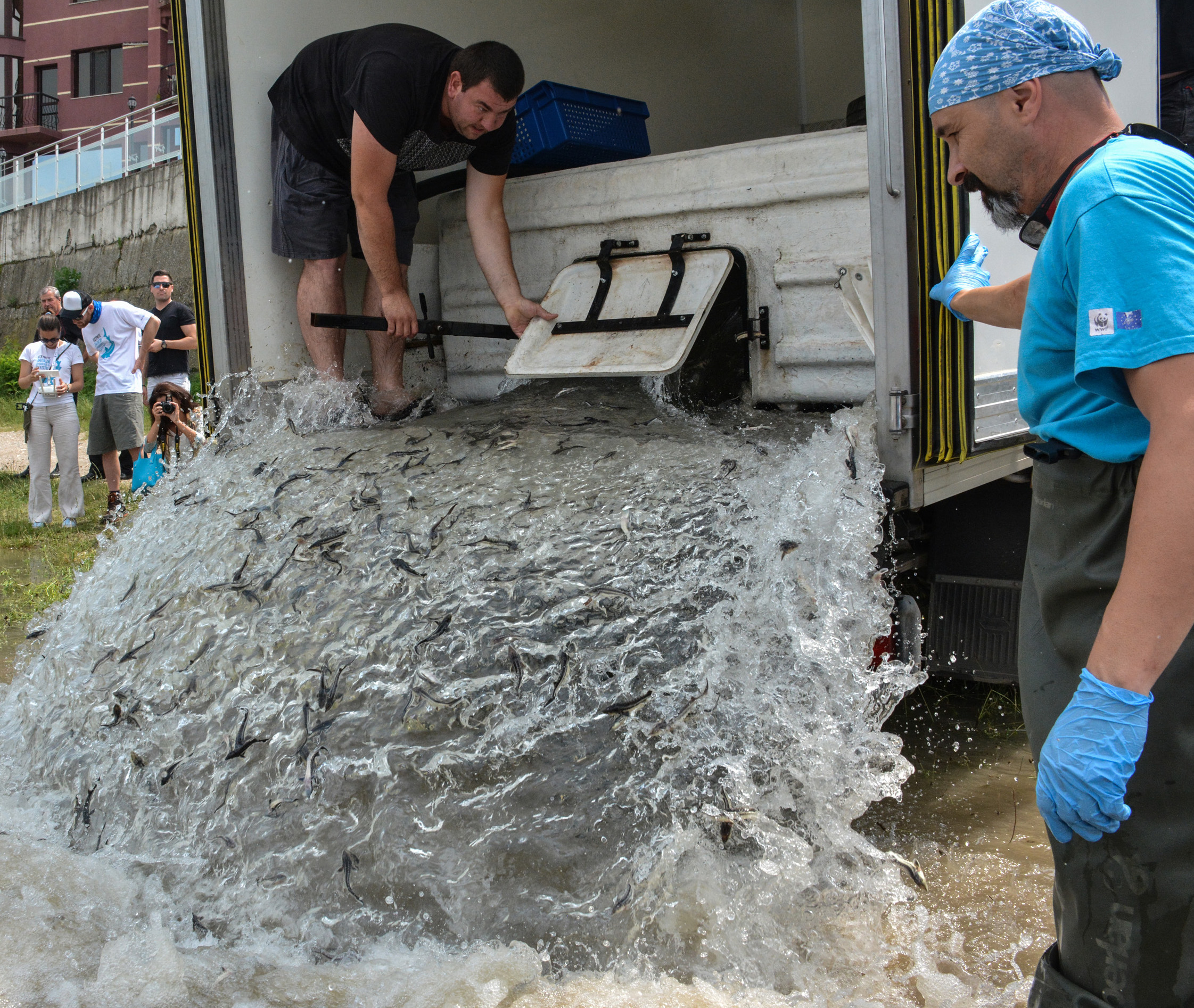 WWF released more than 20,000 Russian Sturgeons into the Danube | WWF