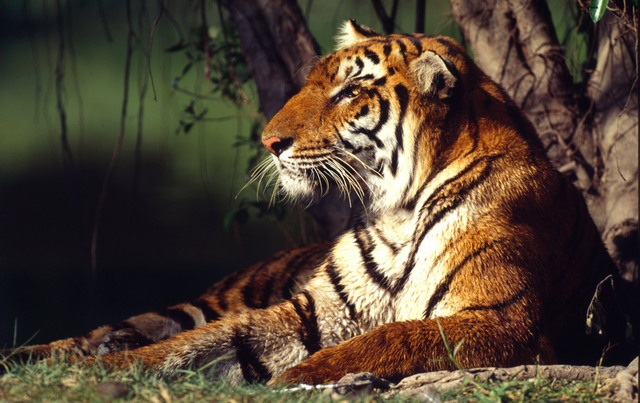 Tigers are among the world's most threatened species, with only an estimated 3,200 remaining in the wild.