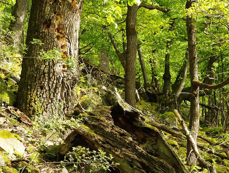 Štiavnické vrchy, zatiaľ nechránený prales Foto: Pavol Polák
