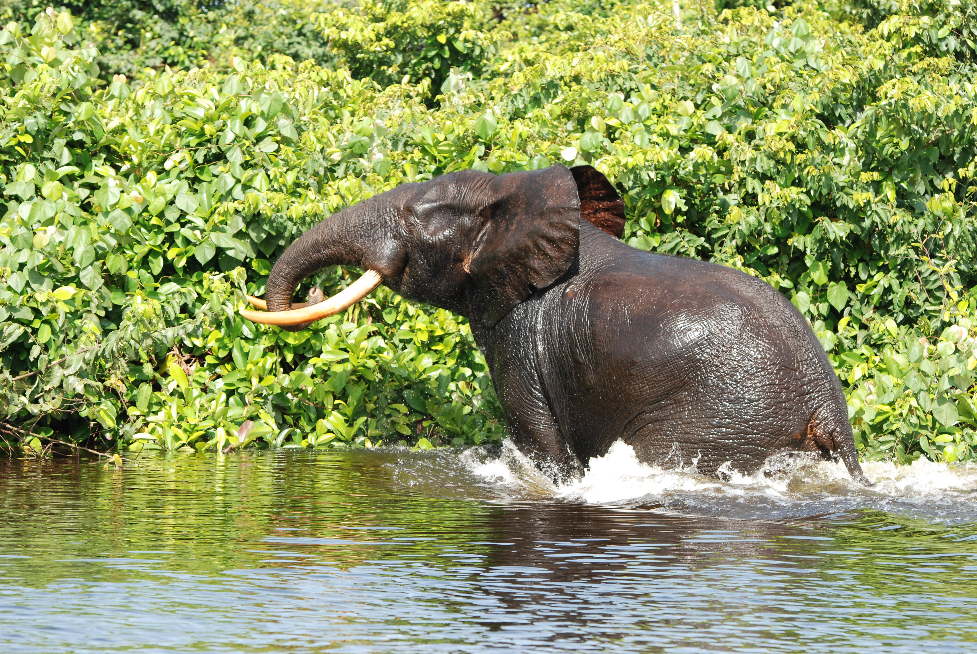 Central Africa biomonitoring report: Several forest elephant