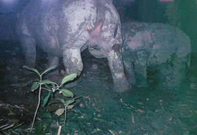 A Javan rhino mother and calf caught on camera