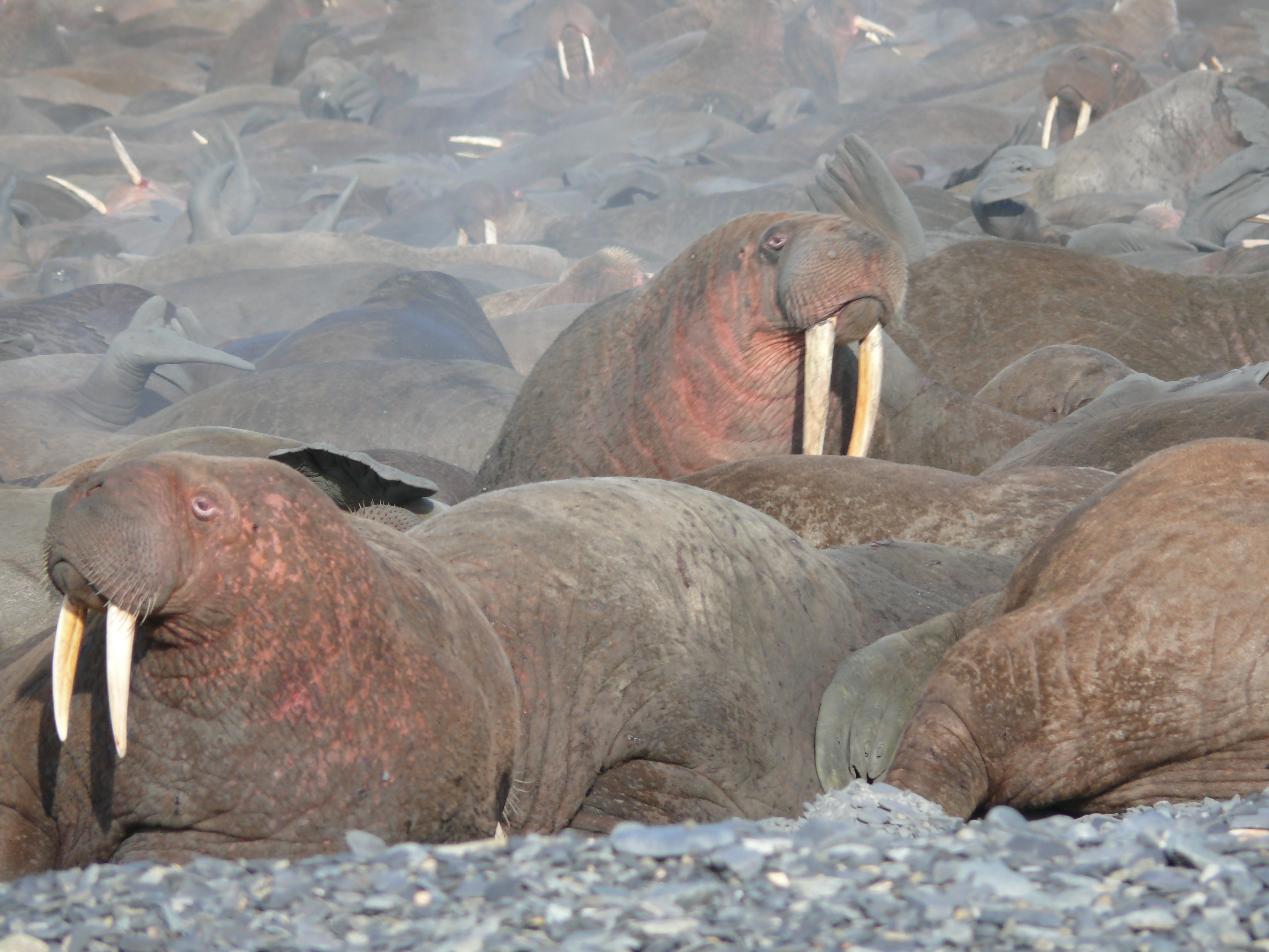 Walruses crammed together on the Chutotka coast in far-eastern Russia
