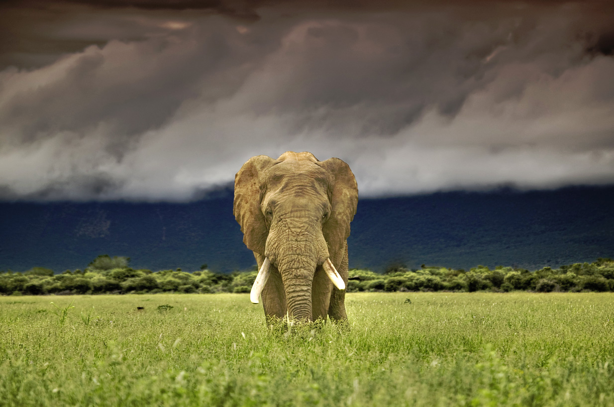 African elephant (Loxodonta africana) on plains under stormy sky, Marakele National Park, Waterberg Biosphere, South Africa.